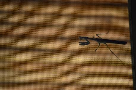 One of many mantises. Manti?
