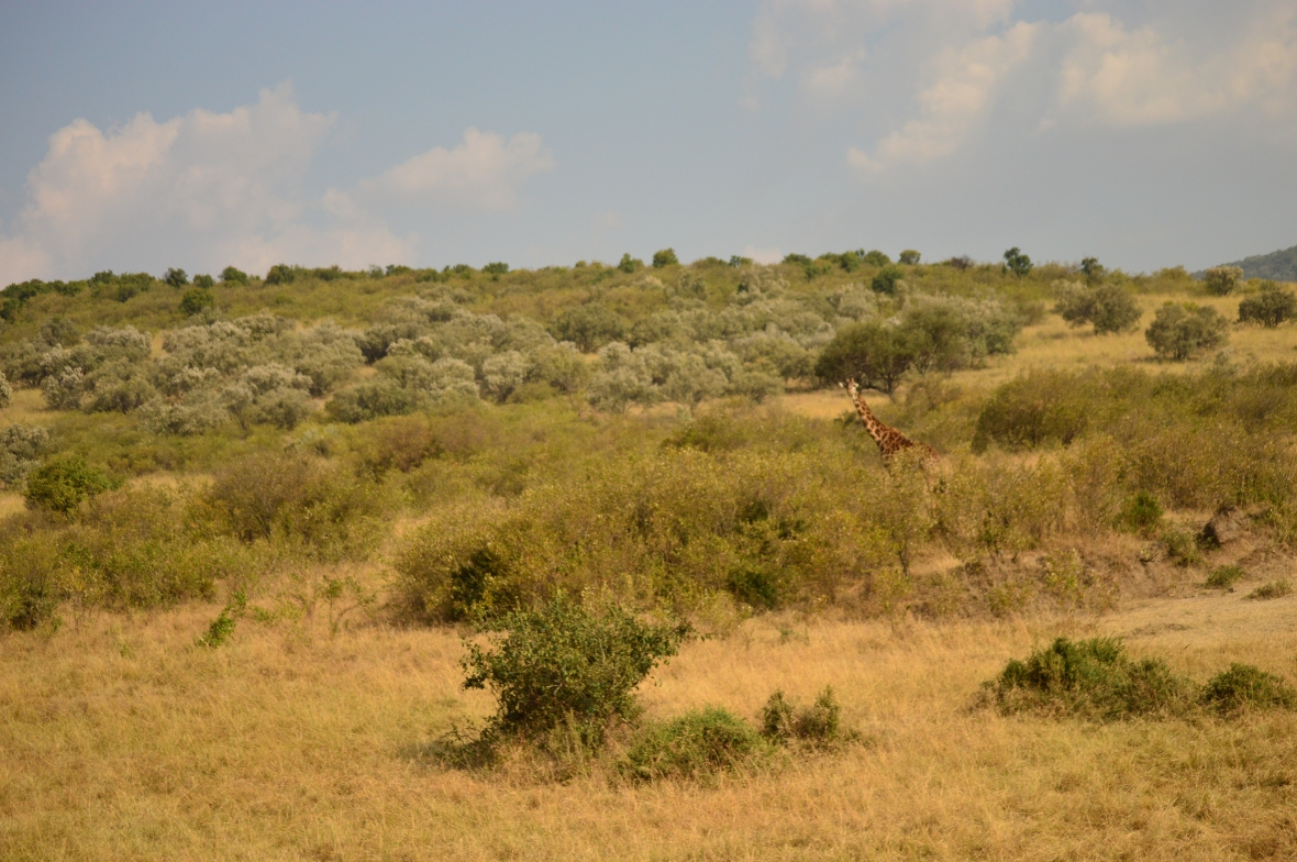 Giraffe in Masai Mara National Reserve Kenya