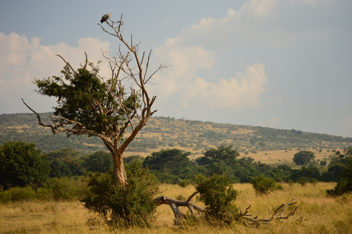 Vulture in tree in Masai Mara National Reserve Kenya