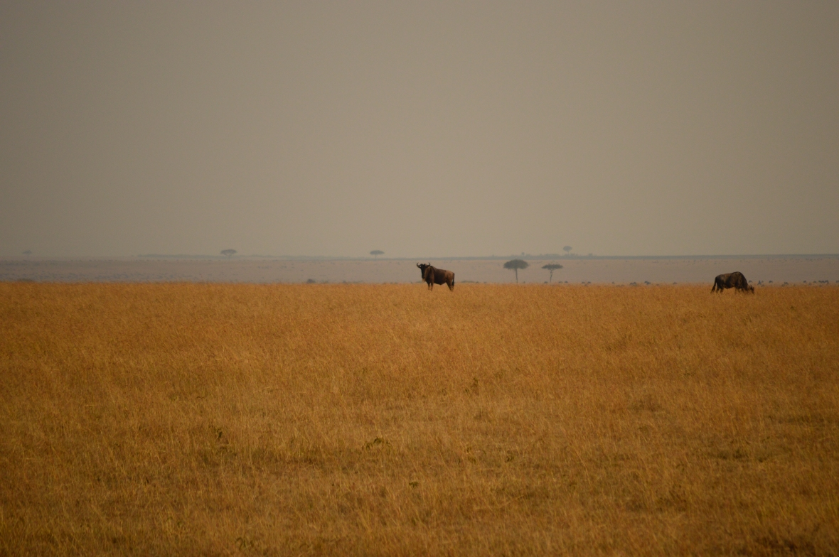 Wildebeest in the distance in Masai Mara National Reserve Kenya