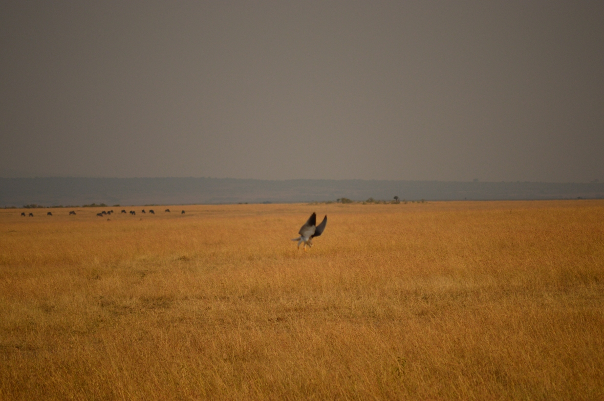 Black shouldered kite swooping in for a kill in Masai Mara National Reserve Kenya