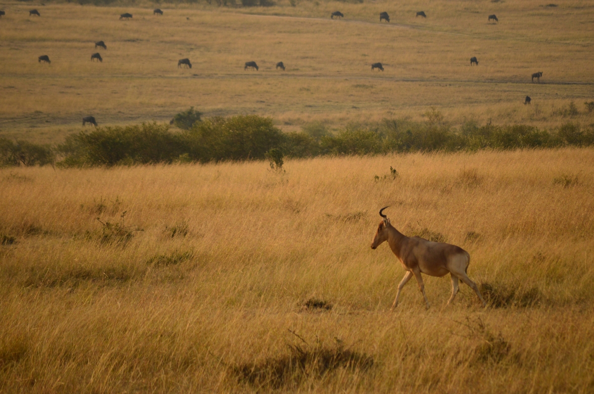 One-antlered Topi or Hartebeest with wildebeest scattered in the background. Masai Mara National Reserve Kenya