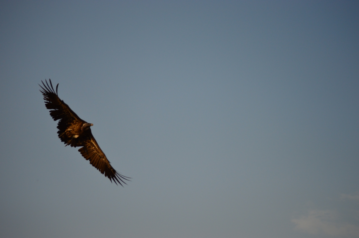 Vulture in flight soaring over Masai Mara National Reserve, Kenya