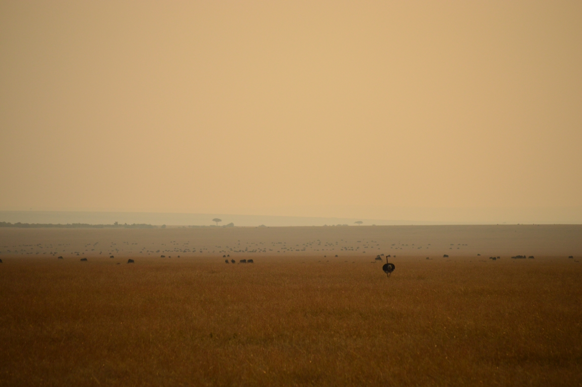 Ostrich in field of gold at sunset in Masai Mara National Reserve, Kenya