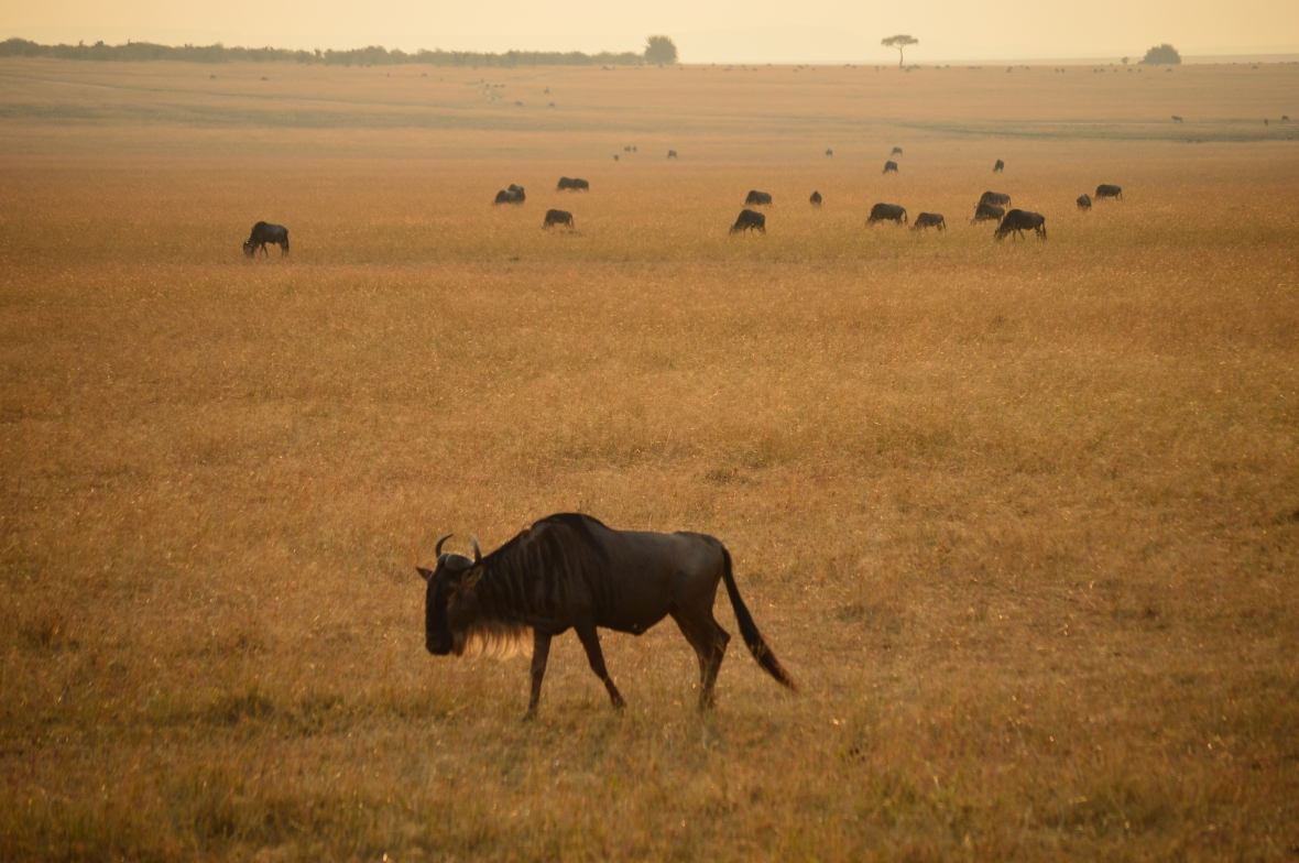 Saggy widlebeest in golden field at sunset in Masai Mara National Reserve, Kenya