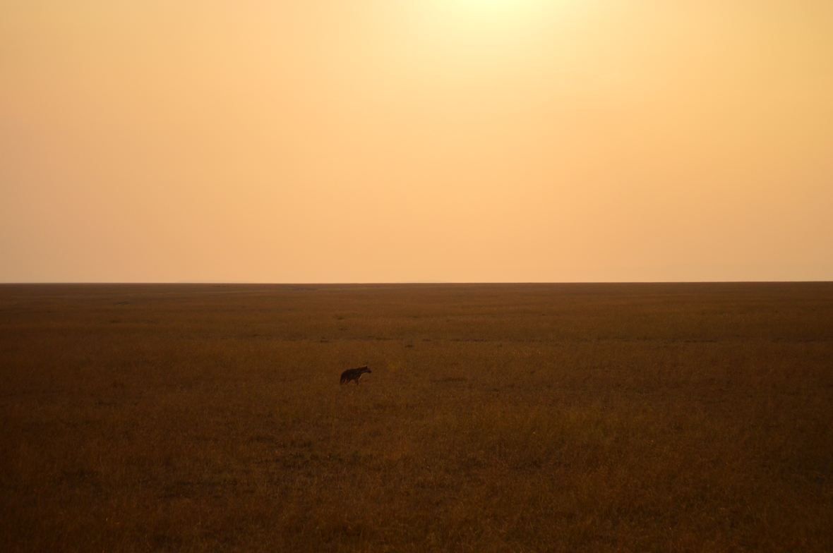 Lone hyena in golden field at sunset in Masai Mara National Reserve, Kenya