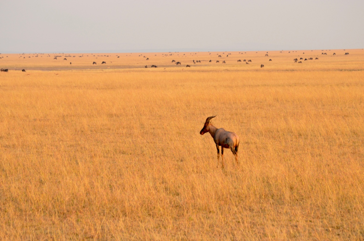 Topi gazing across golden field during sunset with wildebeest in the background at Masai Mara National Reserve, Kenya