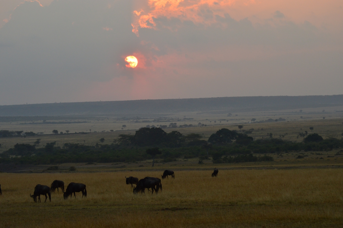 Herd of wildebeests at sunrise in Masai Mara National Reserve, Kenya