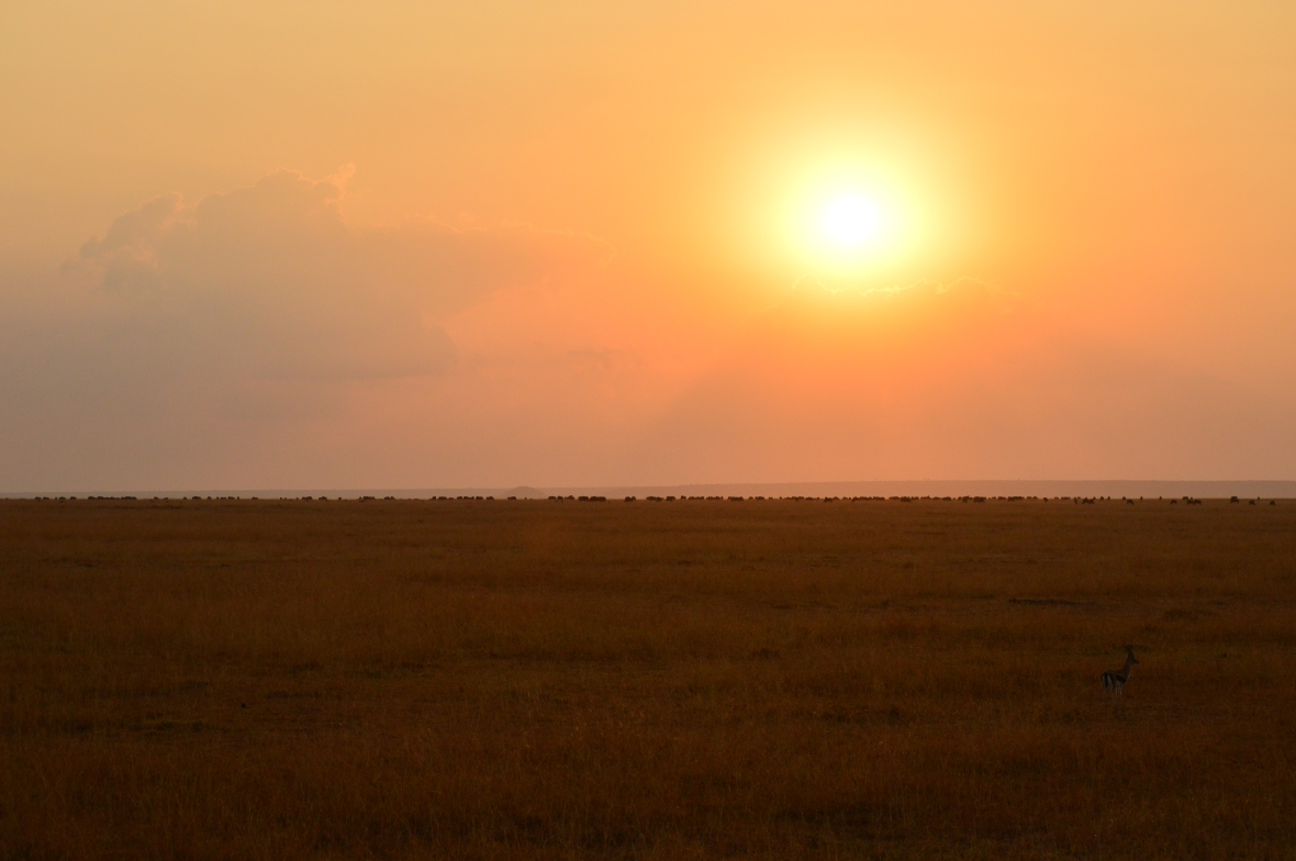 Lone impala in golden field before a stunning sunrise in Masai Mara National Reserve, Kenya