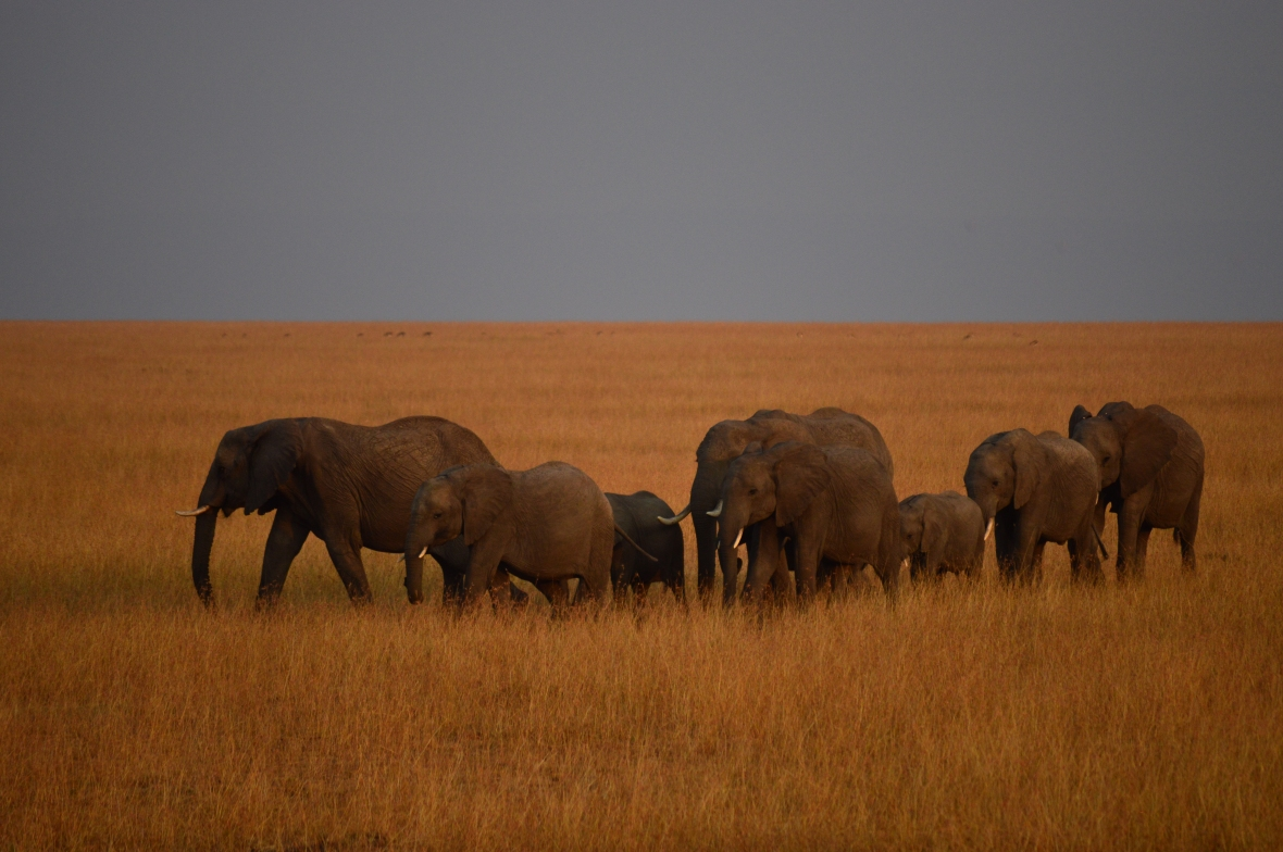 Herd of elephants marching in the morning golden hour. Masai Mara National Reserve, Kenya