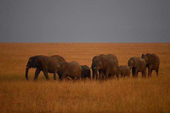 Herd of elephants marching in the morning golden hour. Masai Mara National Reserve, Kenya