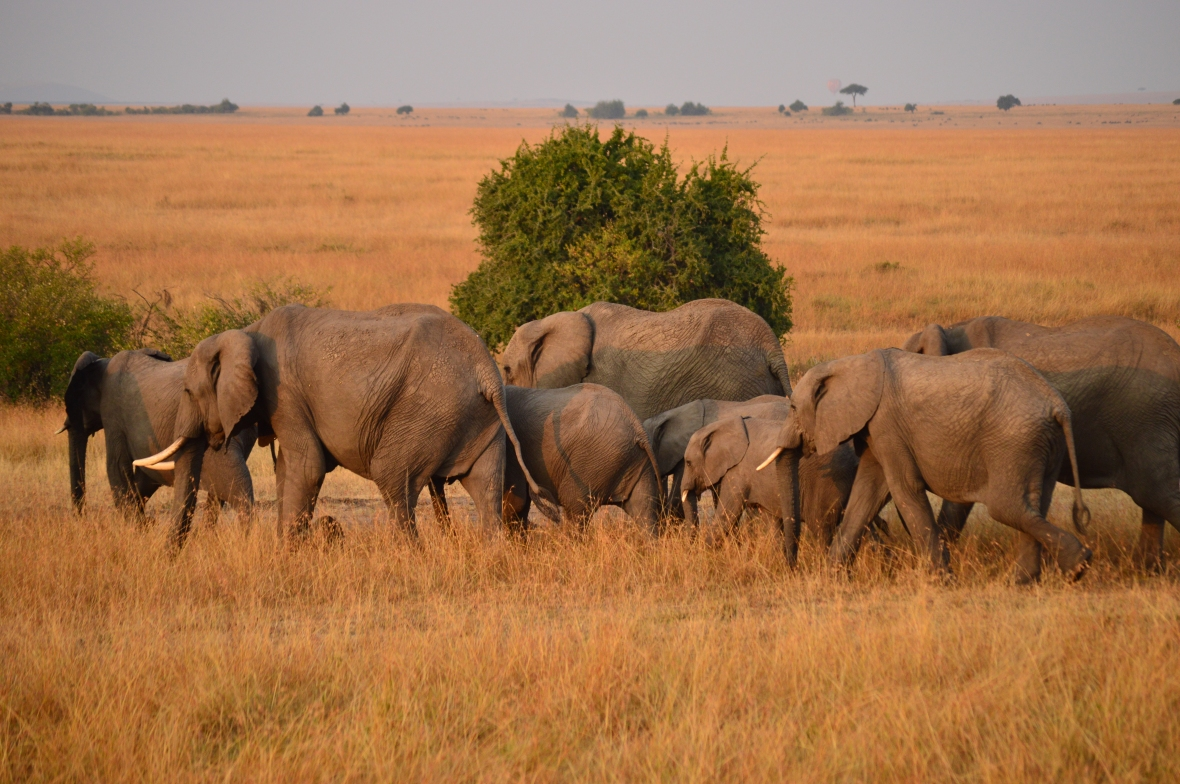 Herd of African elephants walking away. Masai Mara National Reserve, Kenya