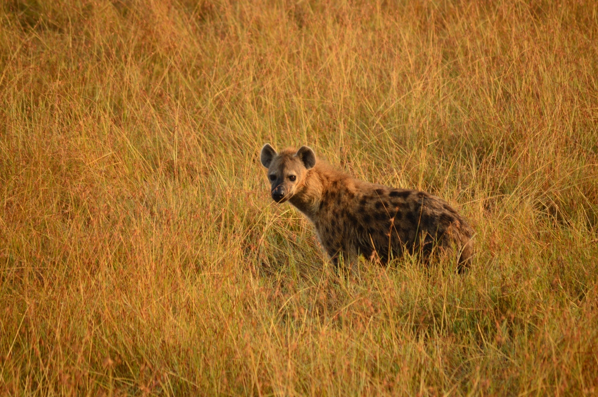 Hyena in tall grass in Masai Mara National Reserve, Kenya
