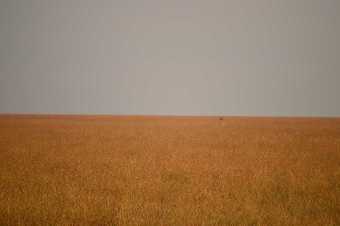 Grant's gazelle barely visible in the tall grass of Masai Mara National Reserve, Kenya
