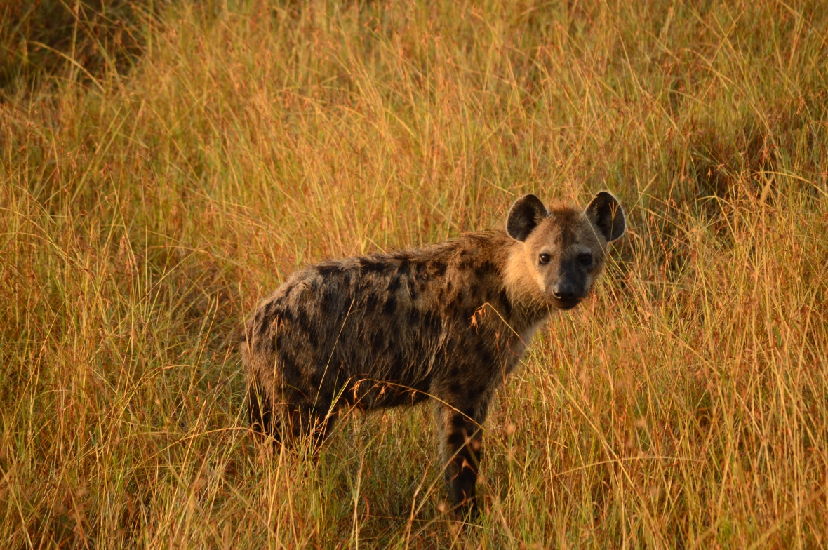 Hyena posing for the camera. Masai Mara National Reserve, Kenya