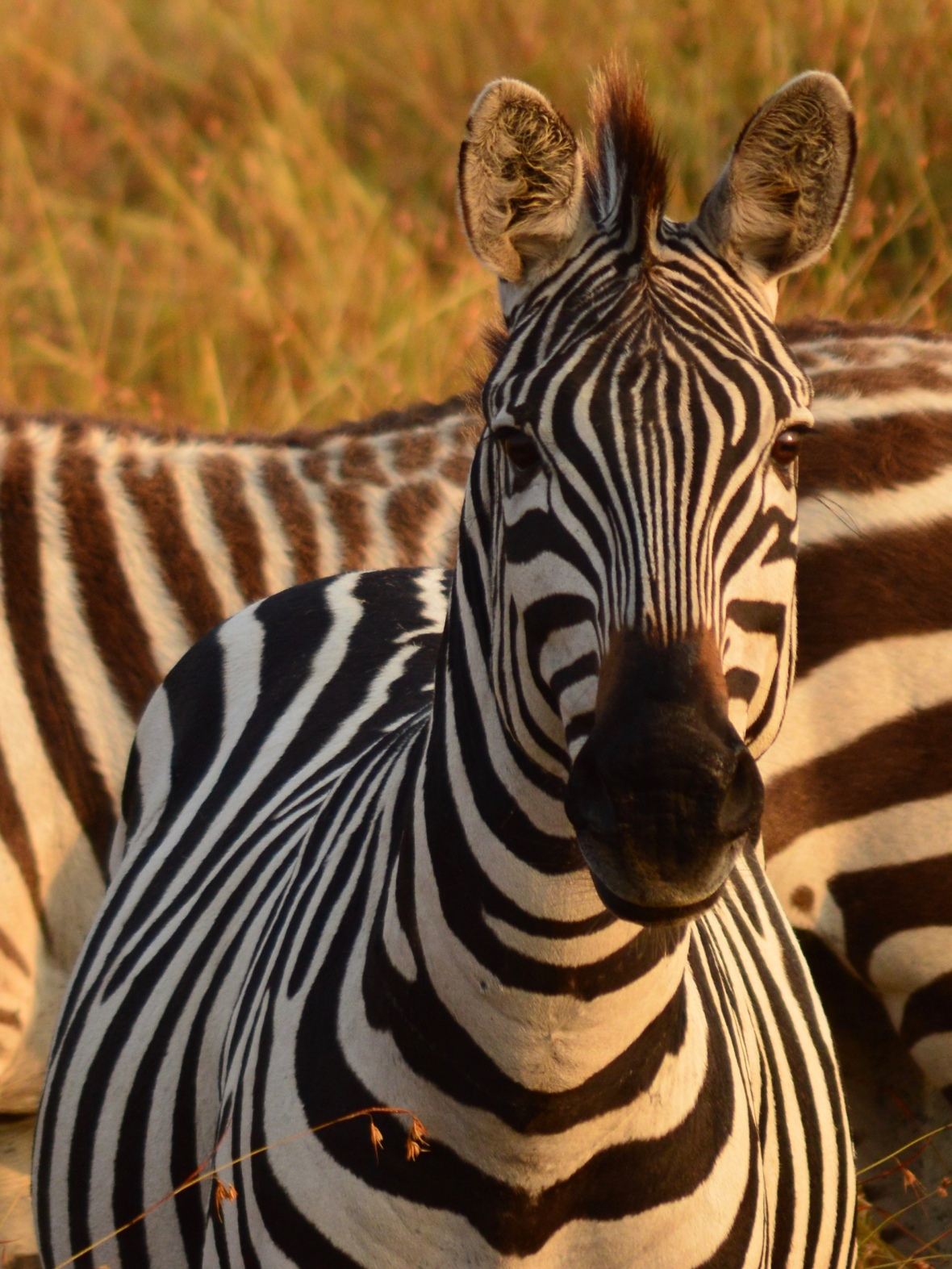 Tight shot of zebra staring at camera