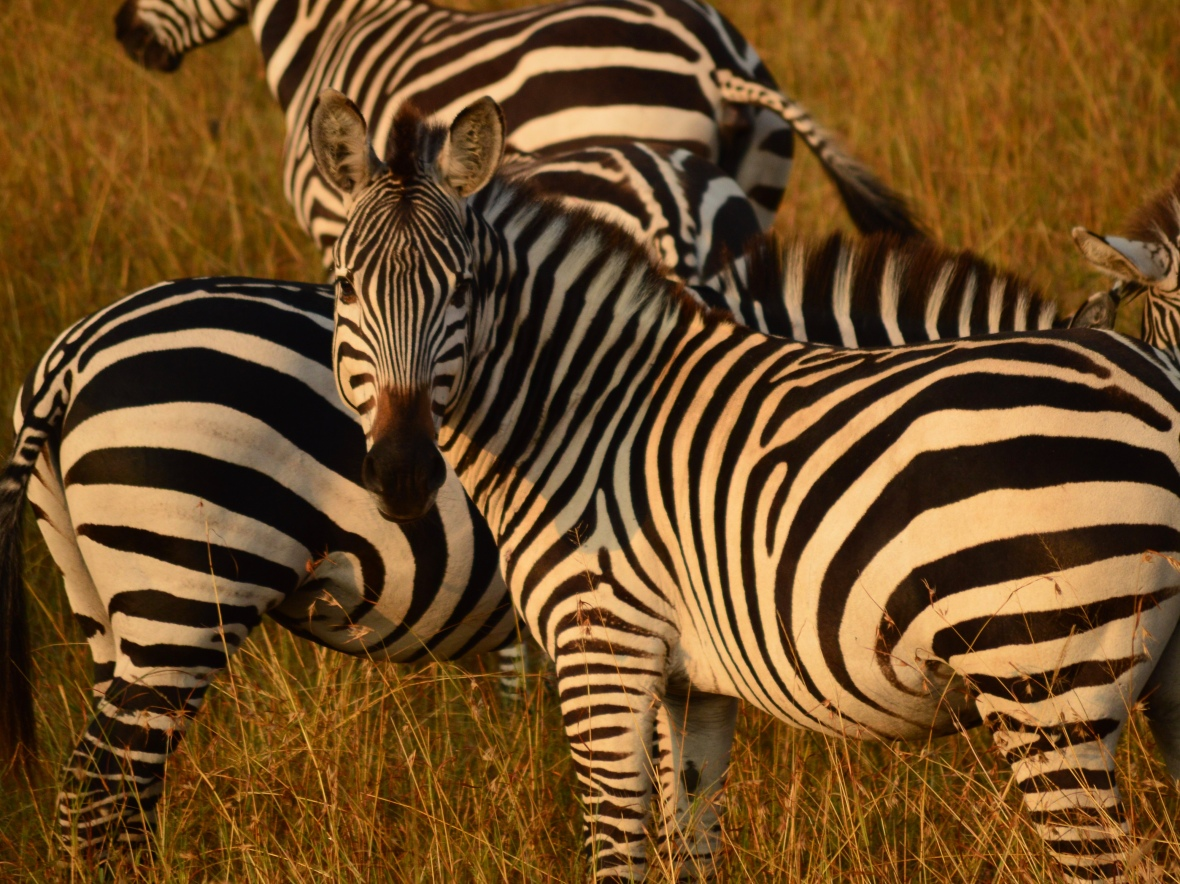 Several zebras blending in together