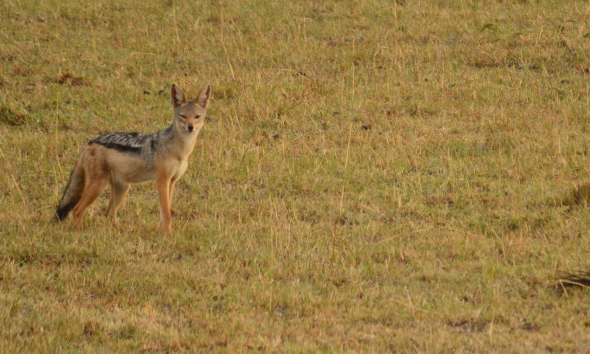 Side-striped jackal in Masai Mara National Reserve, Kenya