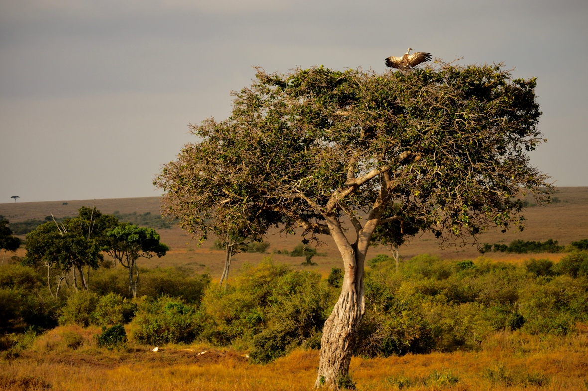 Lions sleep under an acacia tree as a vulture warms its wings. Masai Mara National Reserve, Kenya