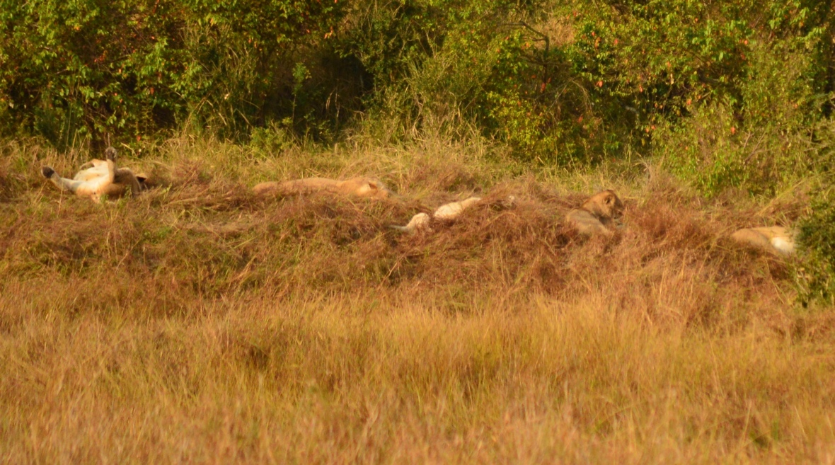 Pride of lions sleeping in the distance. Masai Mara National Reserve, Kenya