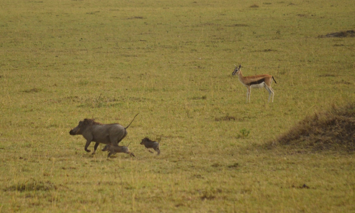 Mother and 2 baby warthogs, or pumbas, running past an impala in Masai Mara National Reserve, Kenya