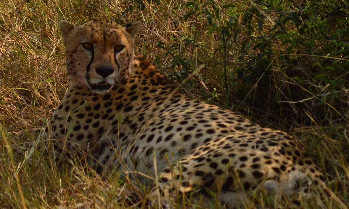 Tight photo of cheetah resting after a kill in Masai Mara National Reserve Kenya