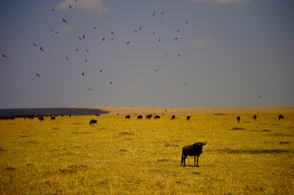 Wildebeests in field with dozens of vultures circling overhead. Masai Mara National Reserve, Kenya