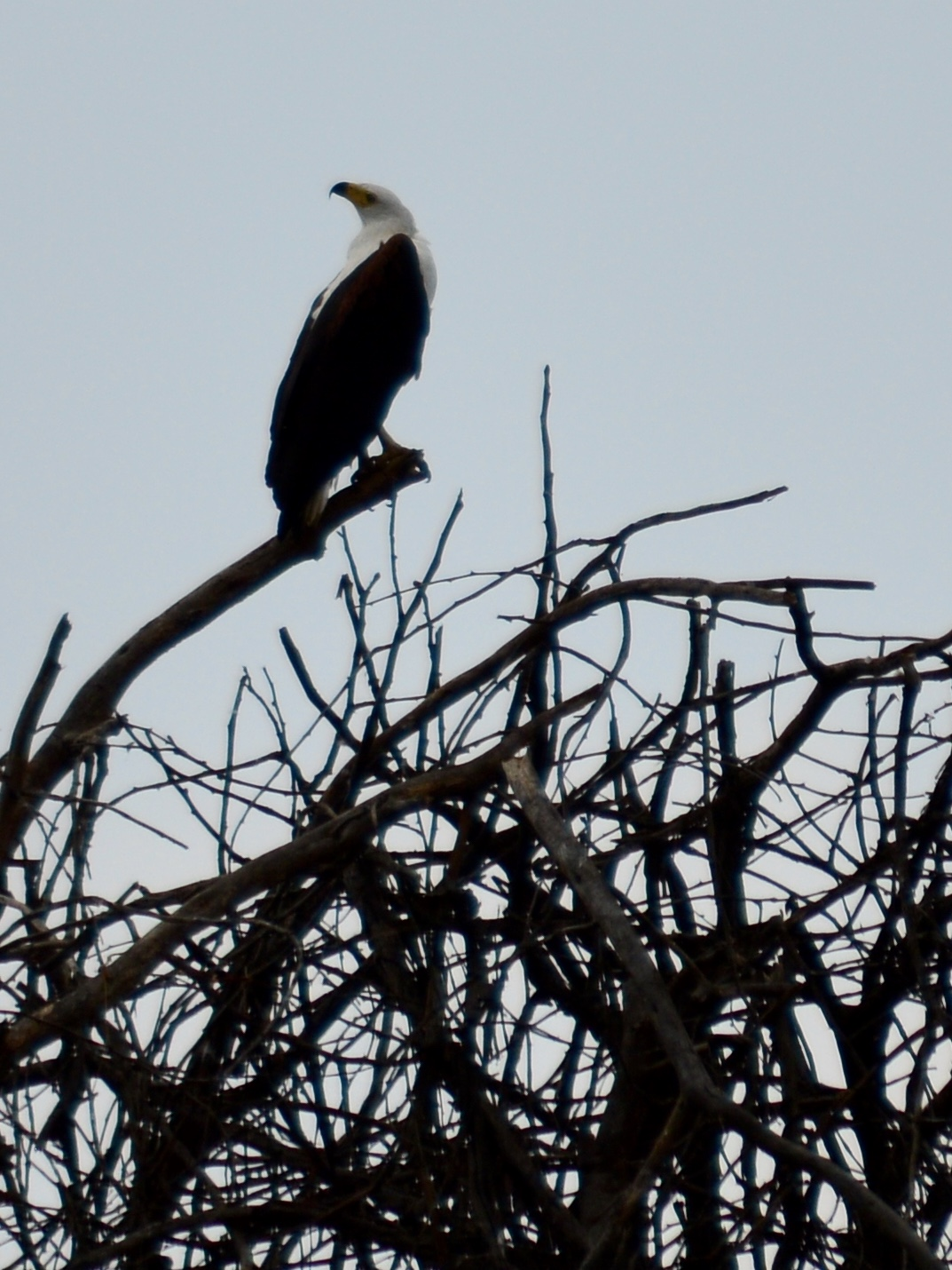 Fish eagle perched above Lake Naivasha