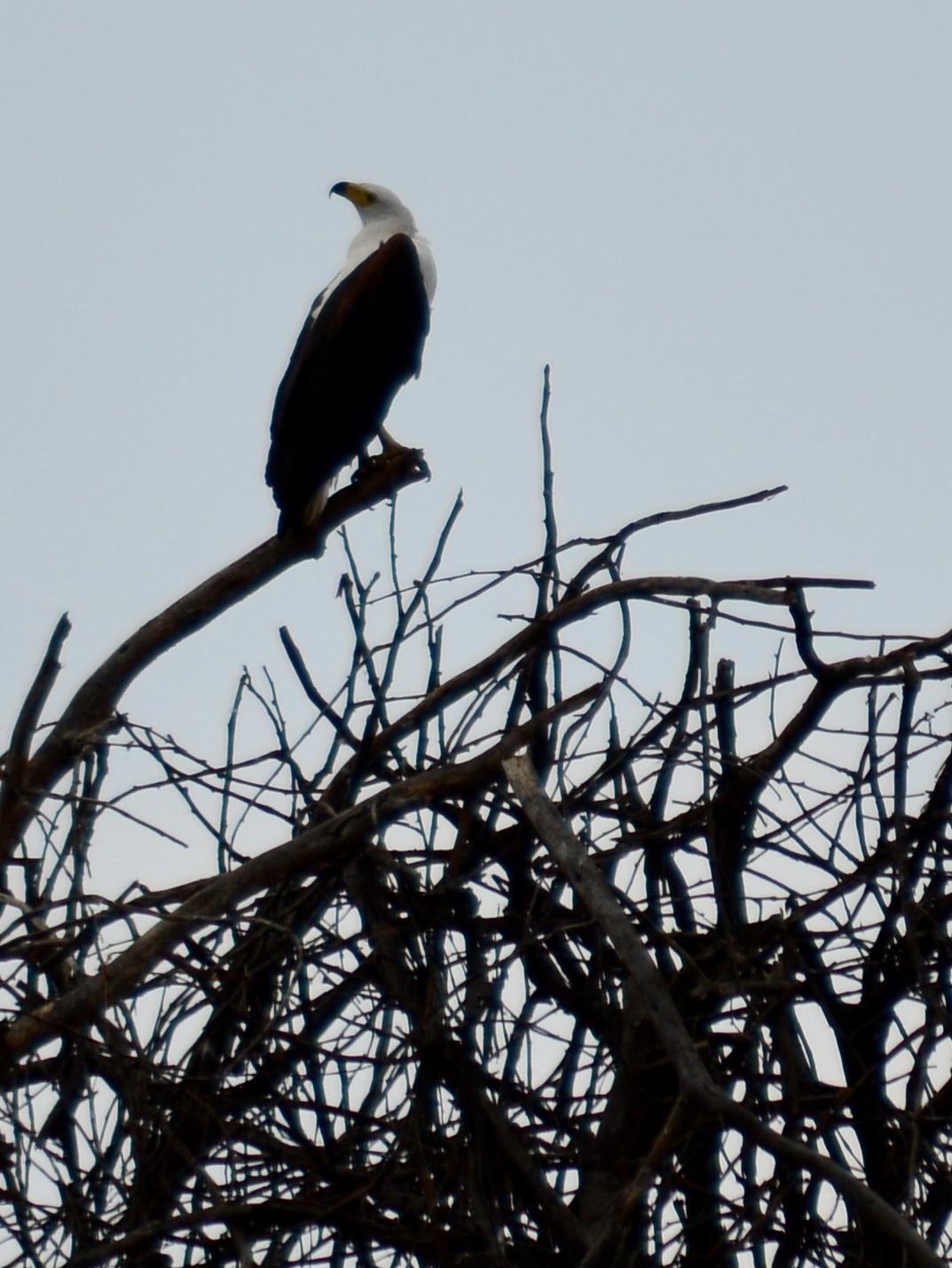 Fish eagle perched above Lake Naivasha