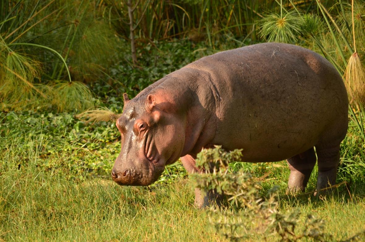 Cute hippo at Lake Naivasha
