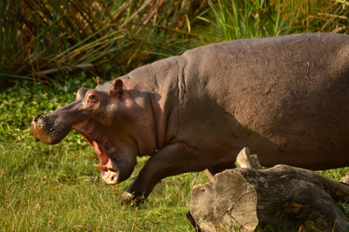 Hippopotamus flashing its powerful jaws in campsite at Lake Naivasha, Kenya
