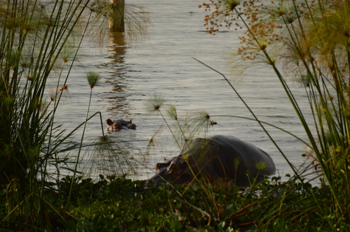 2 hippopotami emerge from Lake Naivasha, Kenya