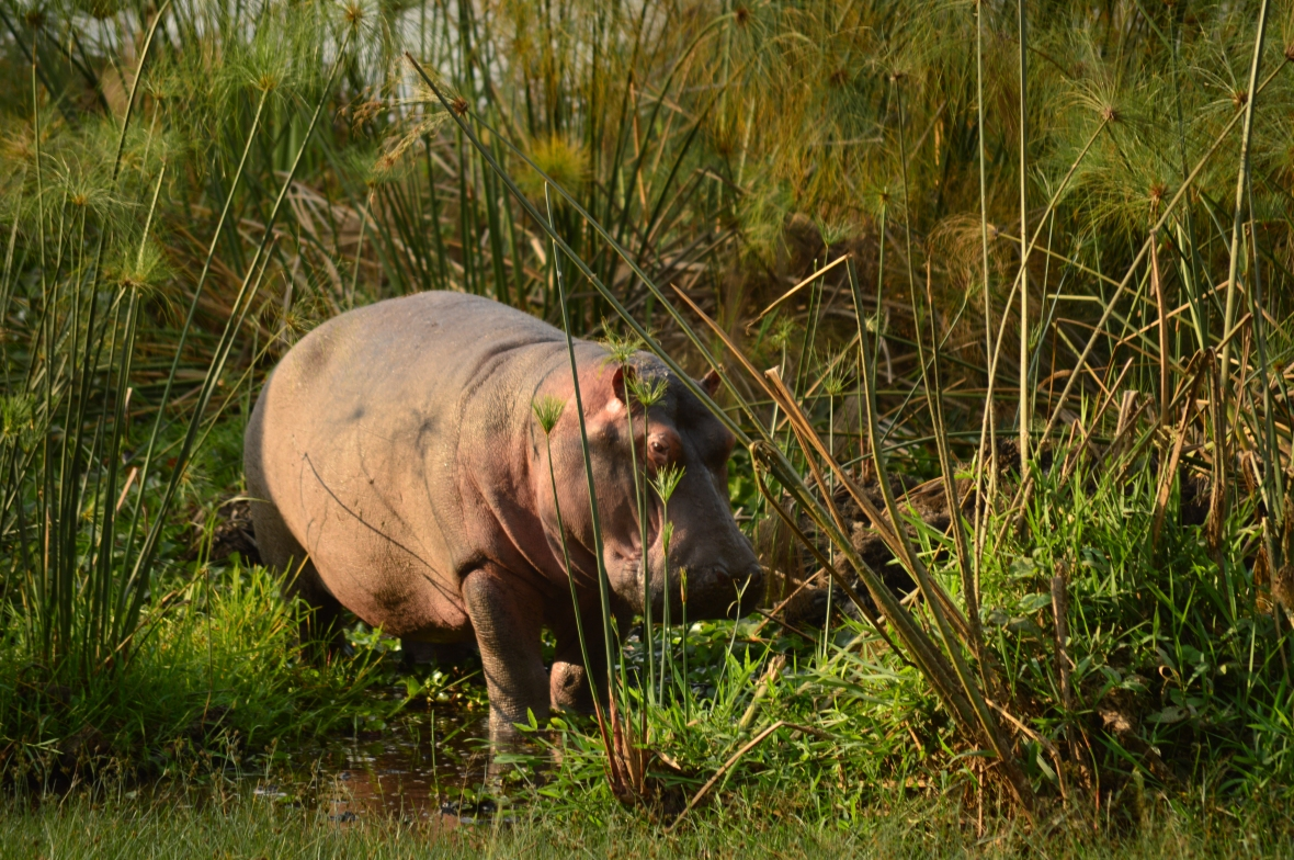 Hippo emerges from Lake Naivasha