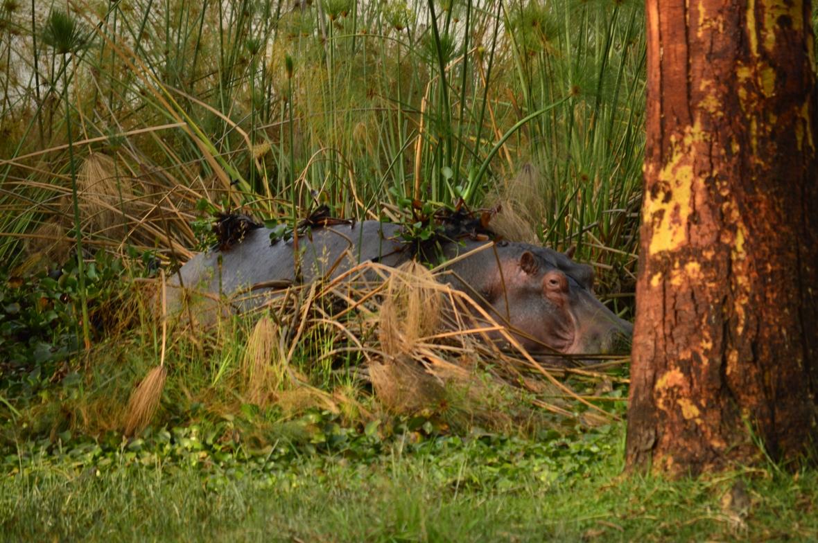 Hippo emerging from Lake Naivasha, Kenya