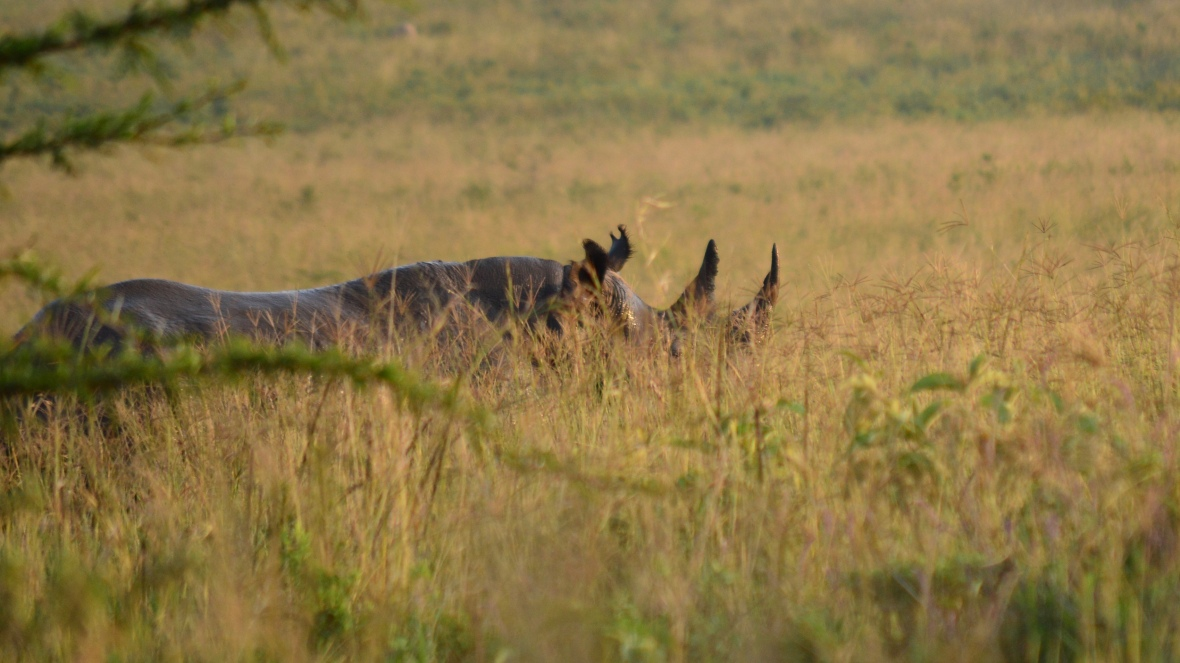Black rhinoceros in tall grass in Lake Nakuru National Park, Kenya
