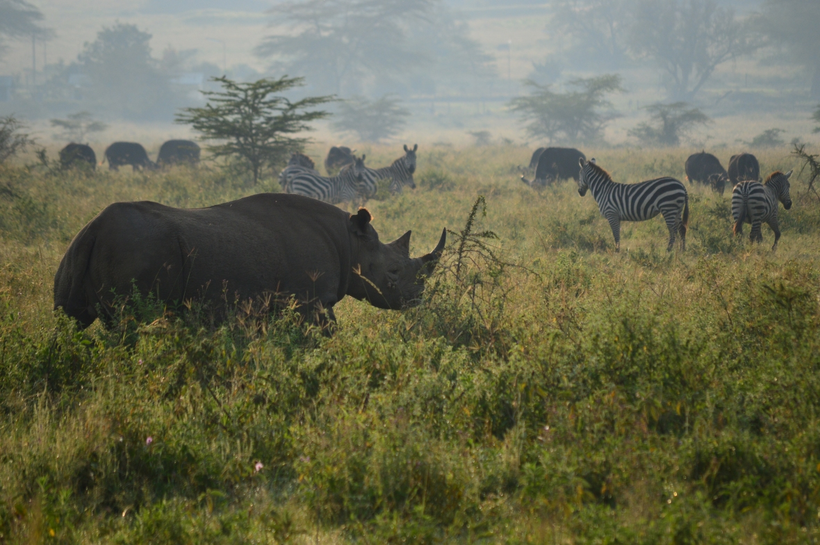 Black rhinoceros and zebras in Lake Nakuru National Park, Kenya