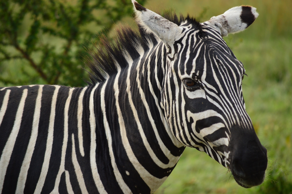 Adult zebra in Lake Nakuru National Park, Kenya