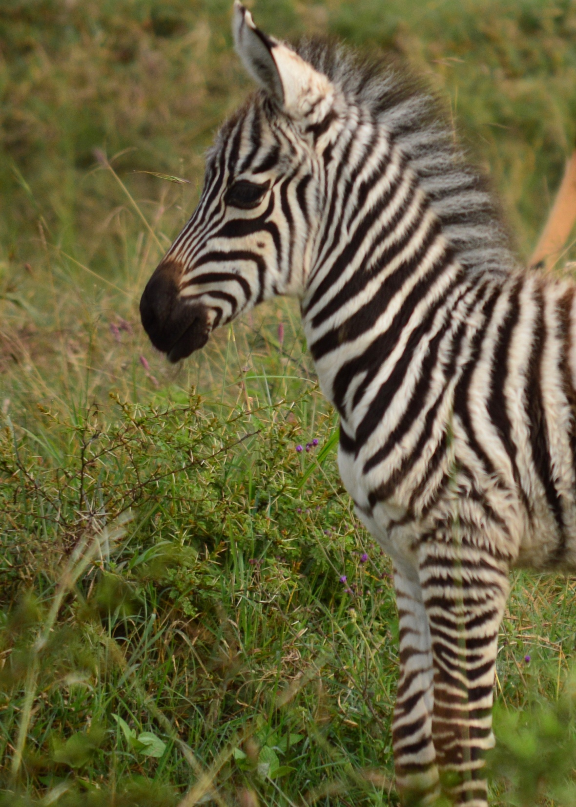 Baby zebra in Lake Nakuru National Park, Kenya