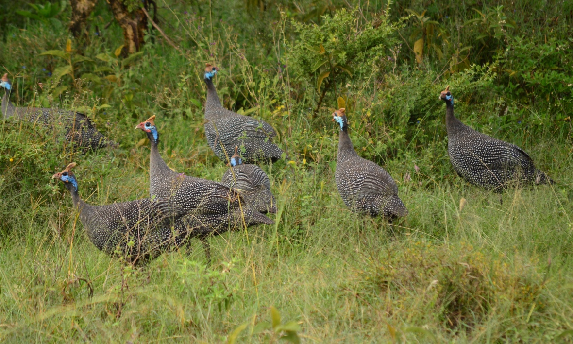 Helmeted Guineafowls in Lake Nakuru National Park, Kenya