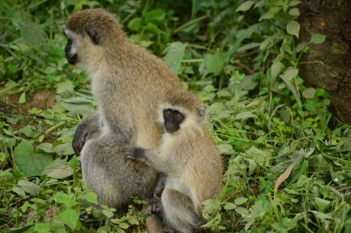 Vervet monkeys being all cute in Lake Nakuru National Park, Kenya