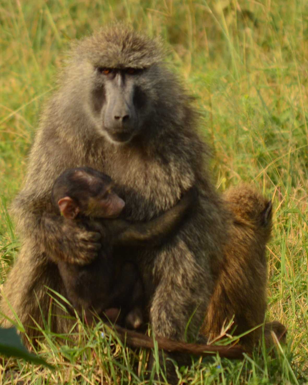 Baboon family hugging in Lake Nakuru National Park, Kenya