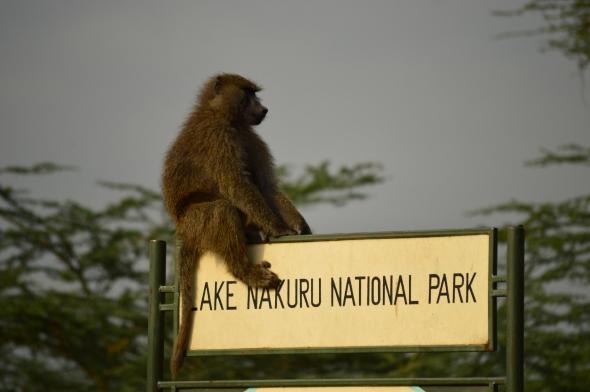 Baboon sitting on entrance sign for Lake Nakuru National Park, Kenya