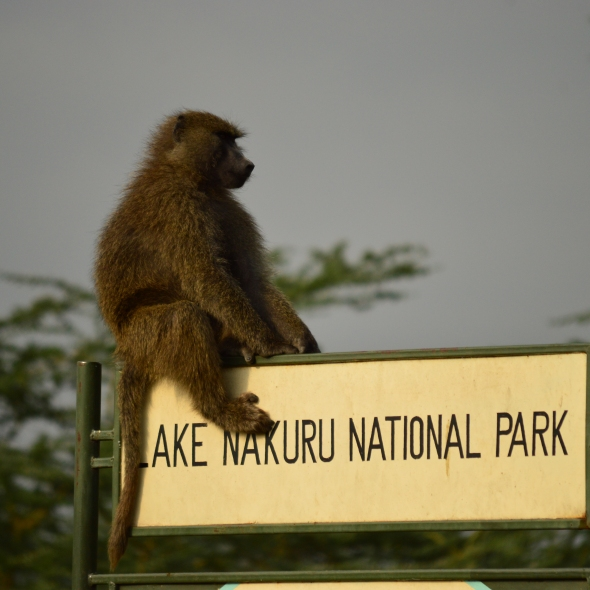 Baboon sitting on entrance sign for Lake Nakuru National Park, Kenya
