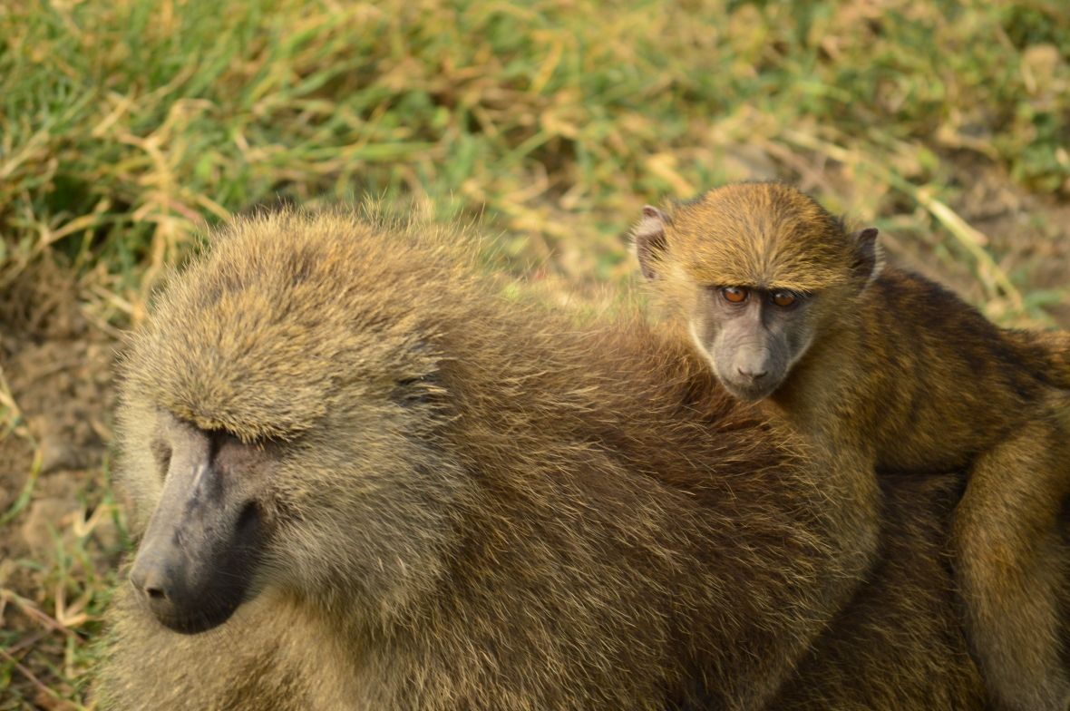Young baboon going for a ride in Lake Nakuru National Park, Kenya