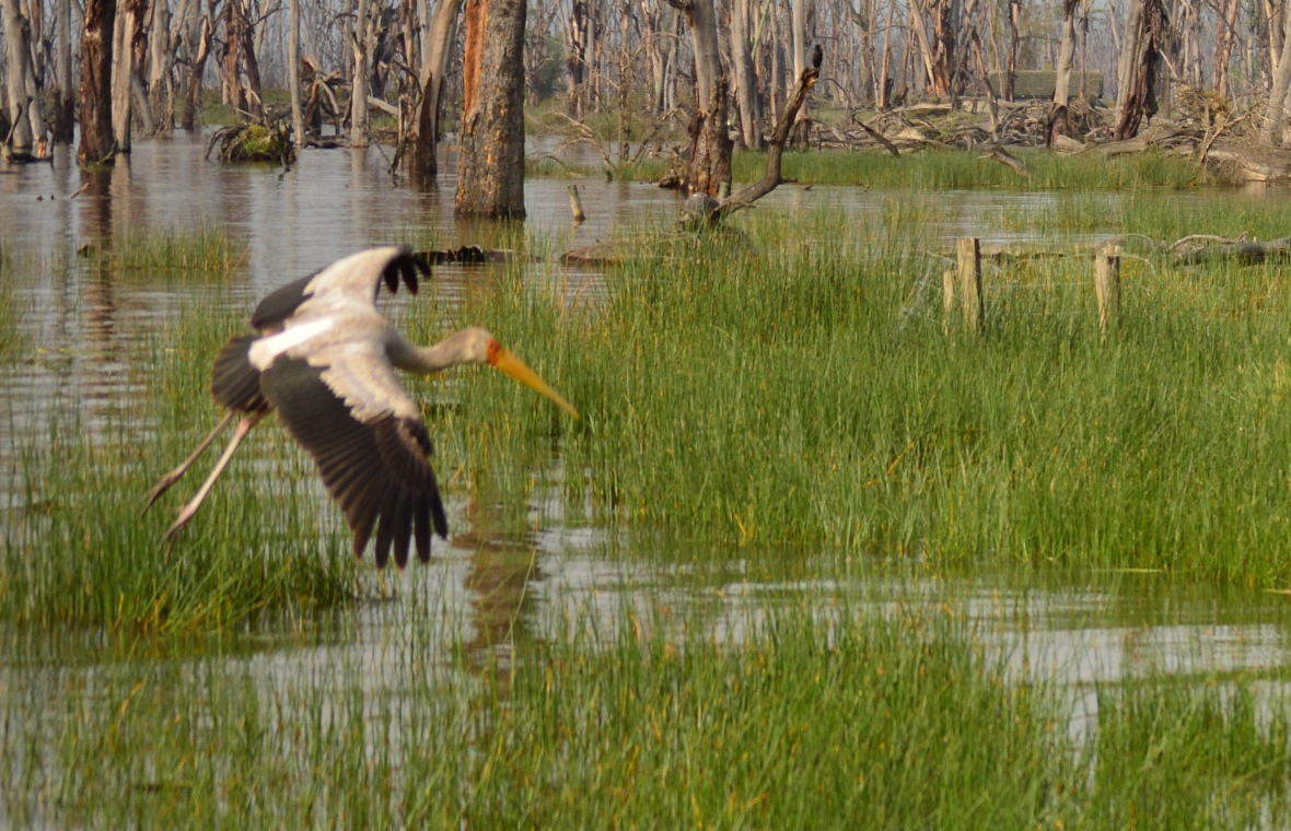 Yellowbilled stork coming in for a landing in Lake Nakuru National Park, Kenya