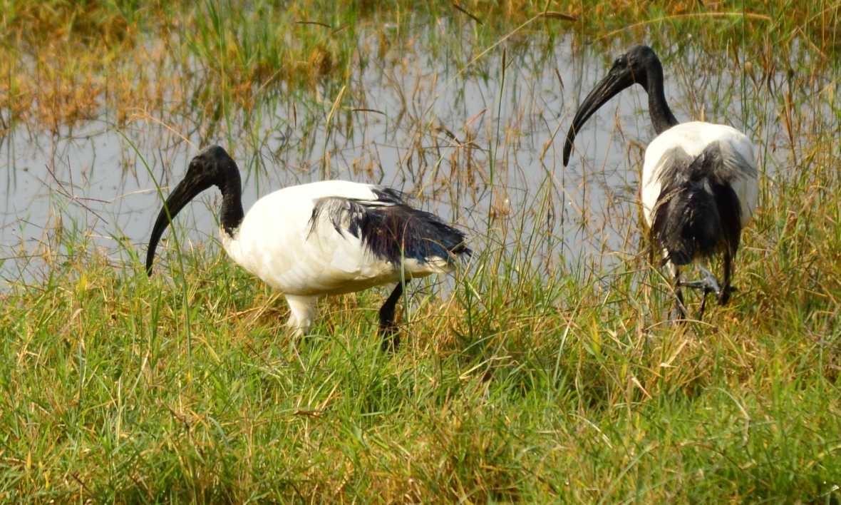 Sacred ibis in Lake Nakuru National Park, Kenya
