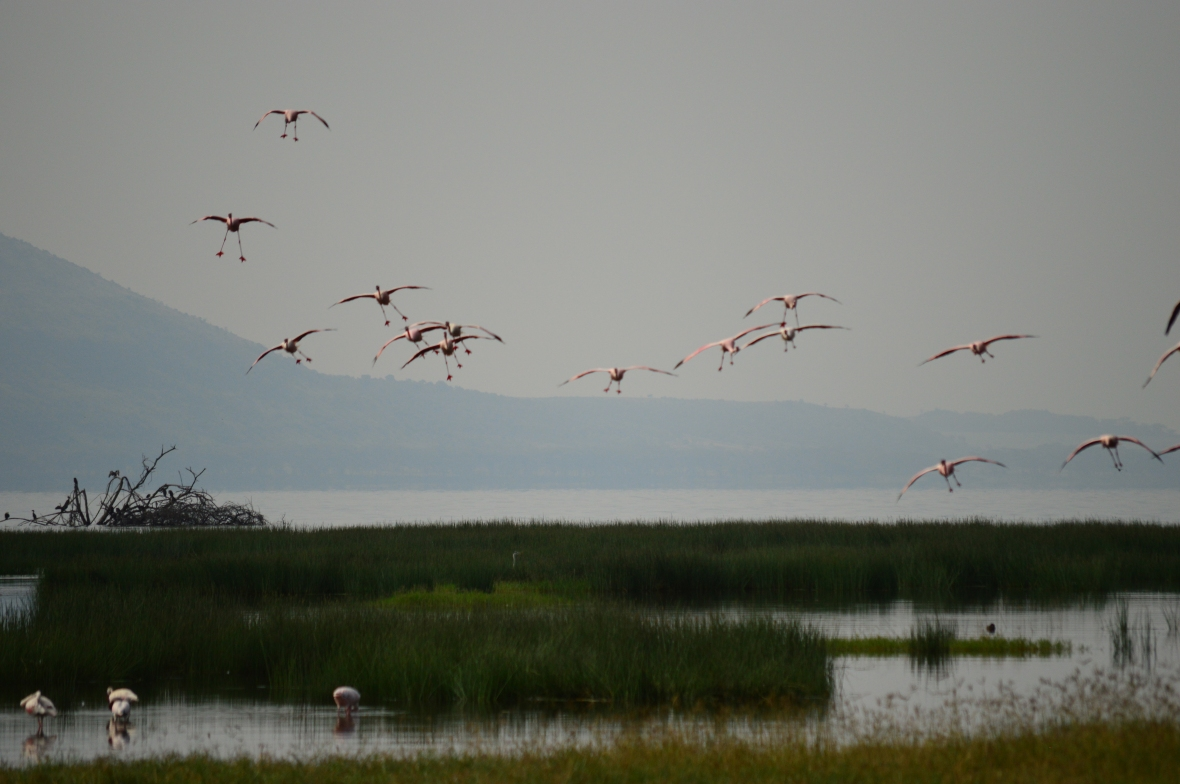 Flamingos prepare for landing in Lake Nakuru National Park, Kenya