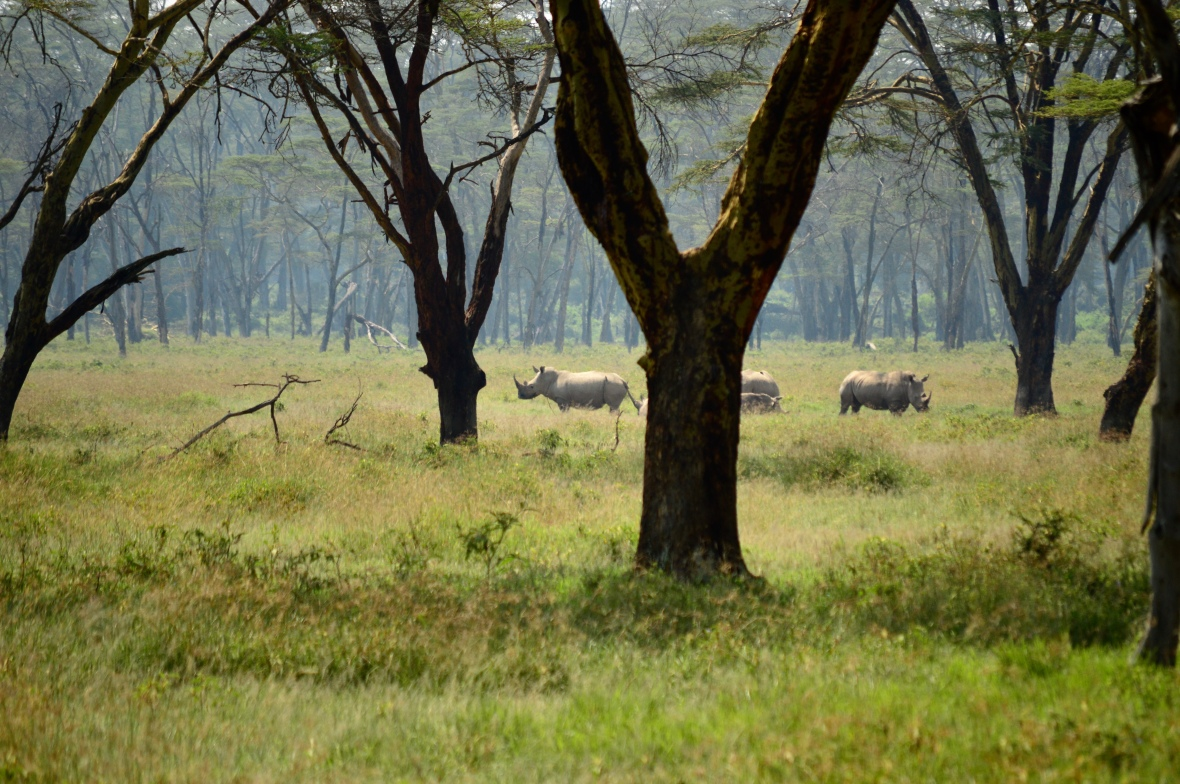 A group of endangered white rhinoceros in Lake Nakuru National Park, Kenya