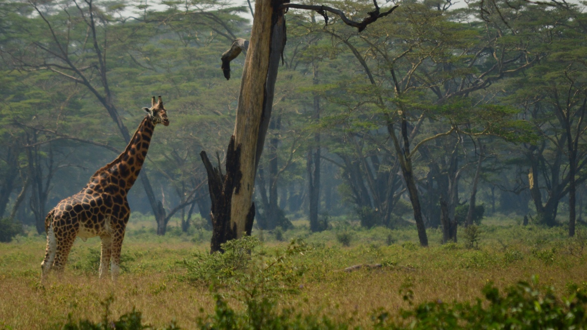 Giraffe in Lake Nakuru National Park, Kenya