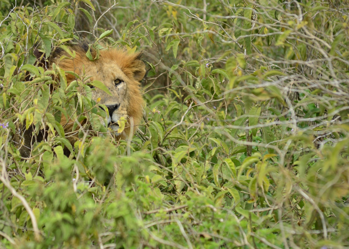 Male lion in Lake Nakuru National Park, Kenya